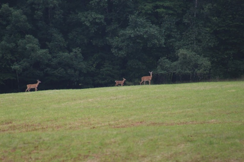 Deer on Trail